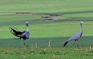 Visitors to Wakkerstroom are able to see South Africa's National Bird, the Blue Crane - a common bird sighting in Wakkerstroom.  Picture Credit: www.wakkerstroom.co.za